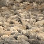Pingouins de Humboldt !!
